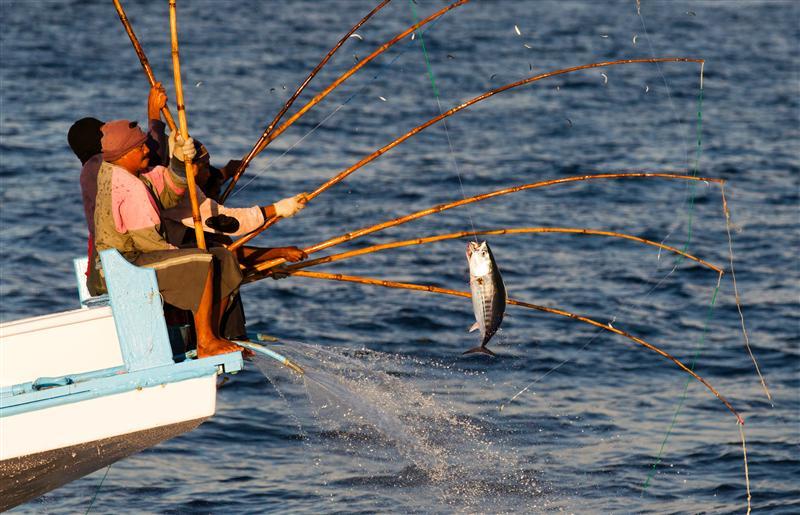 Tonno striato pescato a canna