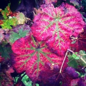 Le foglie rosse del Sagrantino