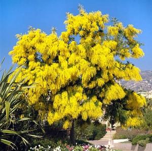 Mimosa Acacia dealbata (ebay.com)