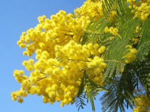 La mimosa (www.ulissedeluxe.com)