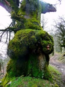 Una delle querce secolari