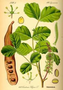 Il frutto del carrubo (www.agraria.org)