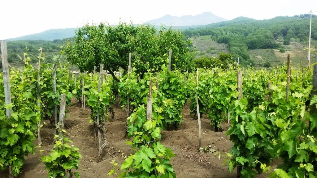 Vigne della Tenuta Monte Gorna